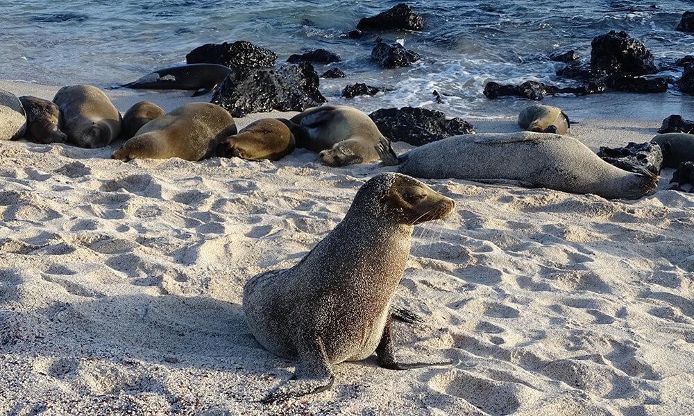 Auf meiner diesjährigen großen Tour durfte ich die Galapagos-Inseln bereisen. Von den vielen Tieren, die wir hier gesehen haben, gehören die Seelöwen zu den fotogensten.