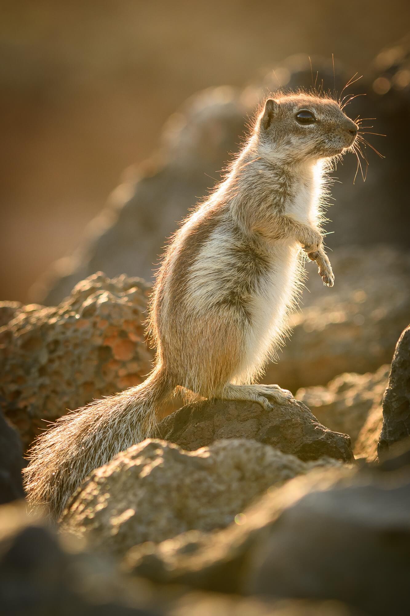 Fuerteventura - Wir liiieben die knuffigen Atlashörnchen