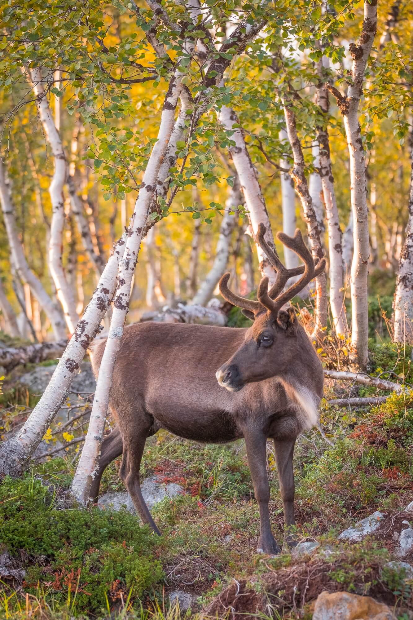 Finnland - Die Rentiere in den bunten Herbstwäldern hatten etwas Märchenhaftes