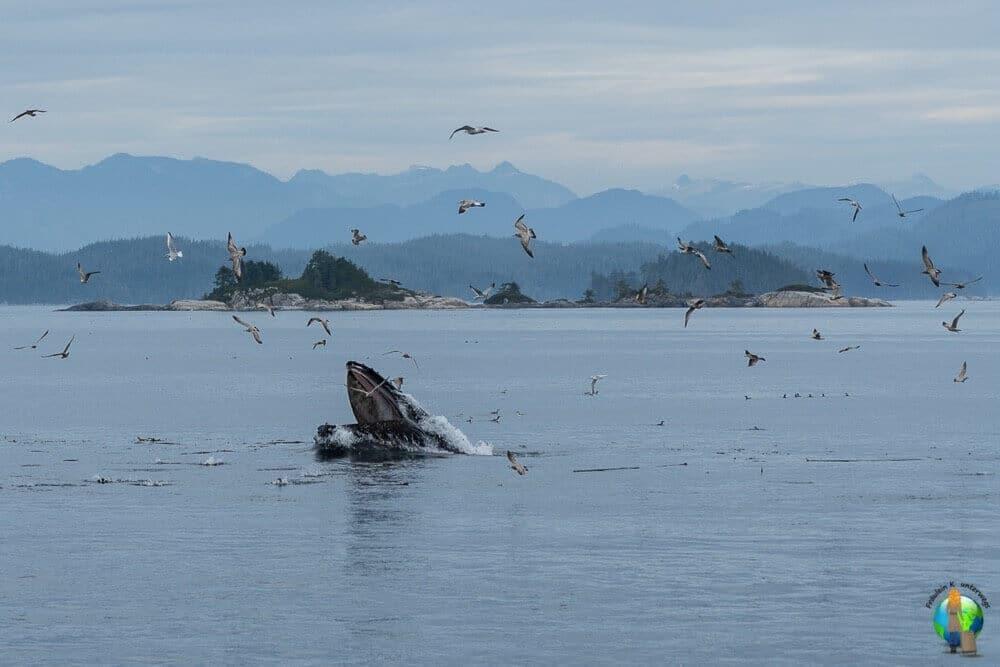 Es war einfach DAS Erlebnis für mich. Buckelwale zu sehen war schon sehr lange ein sehr großer Traum von mir. In den Gewässern um Vancouver Island konnte ich mir diesen Traum endlich erfüllen. Als der Wal auf dem Bild ganz in unserer Nähe auftauchte war das einfach ein Herzensmoment.