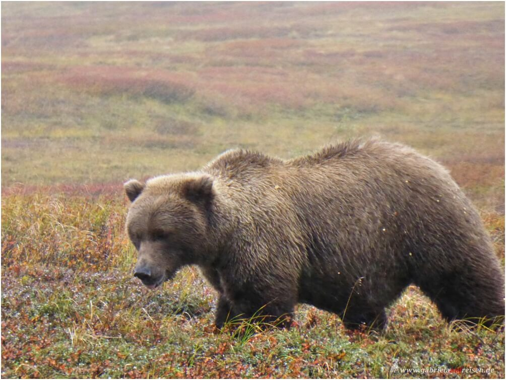 Bär im Denali Nationalpark in Alaska