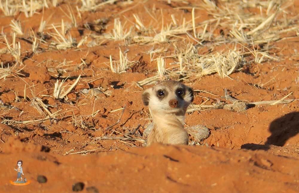 Neugieriges Erdmännchen in Namibia
