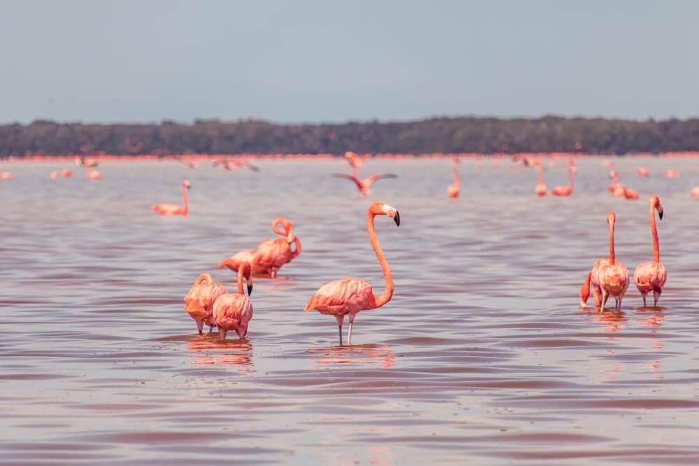 Im mexikanischen Celestun sahen wir eine riesige Kolonie aus Flamingos