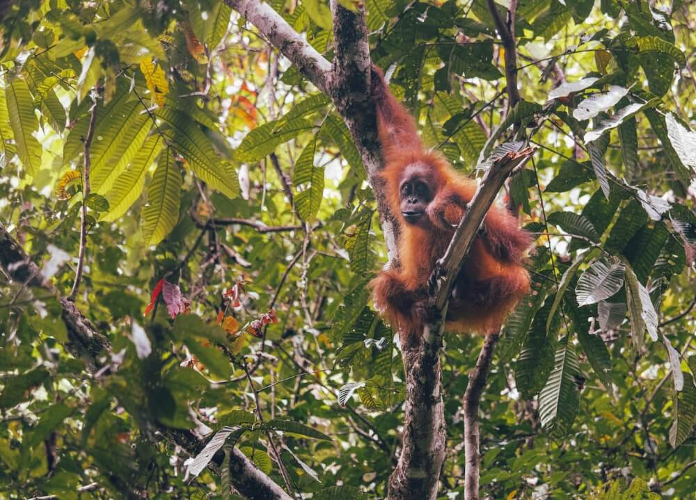 Auf Sumatra waren wir auf Augenhöhe mit zwei Orang-Utans