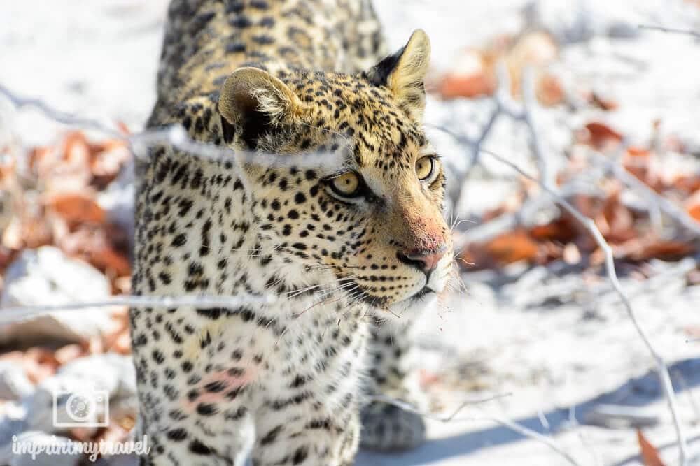 Leopard im Etosha Nationalpark, Namibia, September 2016. Diese Begegnung mit dem Leoparden war einfach nur der Hammer! Das Tier kam so nah, dass mein Teleobjektiv plötzlich zu lang war.