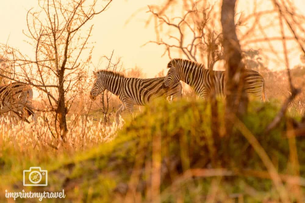 Zebras im Okavango Delta, Botswana, September 2016. Einzigartige Lichtstimmung bei meiner Safari zu Fuß!