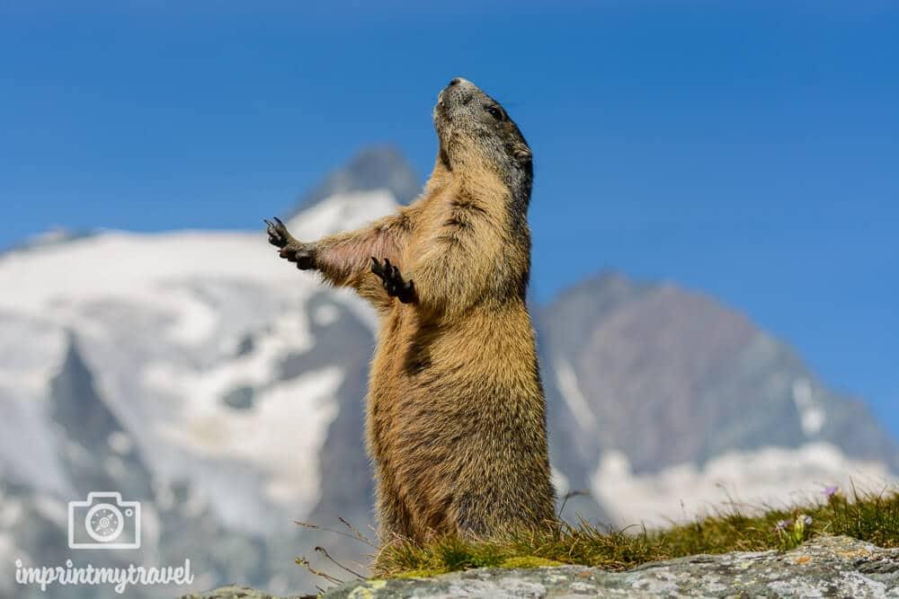 Murmeltier im Nationalpark Hohe Tauern, Österreich, August 2018. Die Pose, das war einfach nur der Knaller!