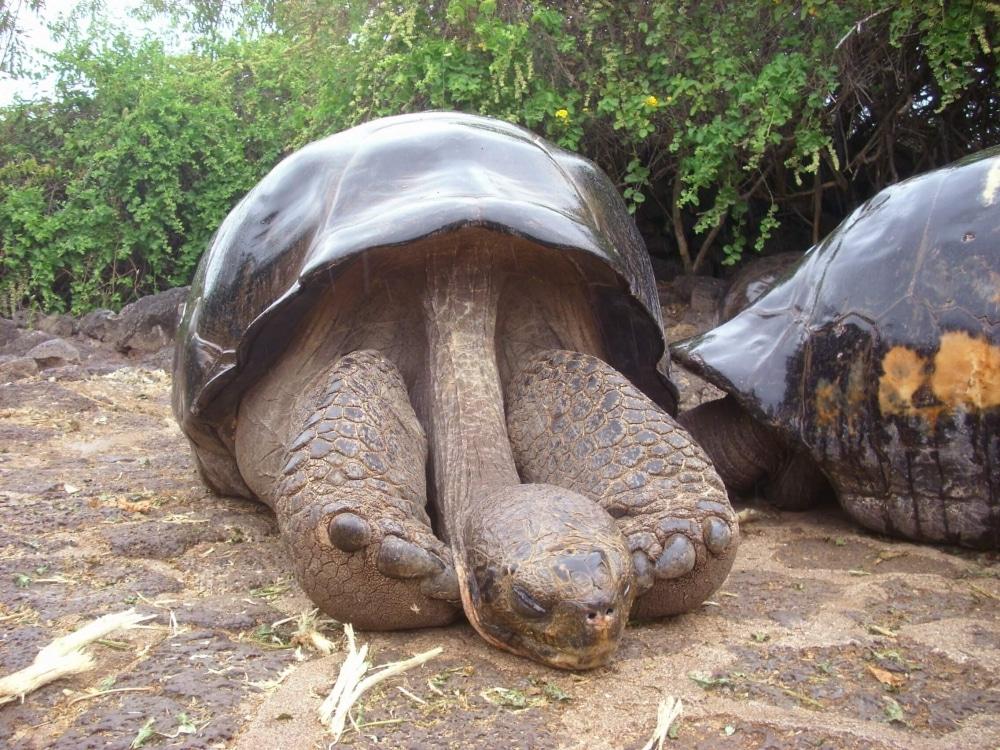Lonesome George - der wohl berühmteste Bewohner der Galapagos Inseln (das Foto stammt von unserer Reise 2009)