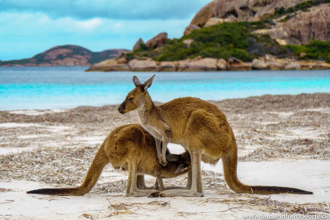 Kängurus am Strand im Cape Le Grand Nationalpark in Westaustralien. Kängurus am Strand sind schon eine kleine Besonderheit. Wenn dieser dann auch noch so schön ist wie hier in Westaustralien, dann ist es umso schöner.