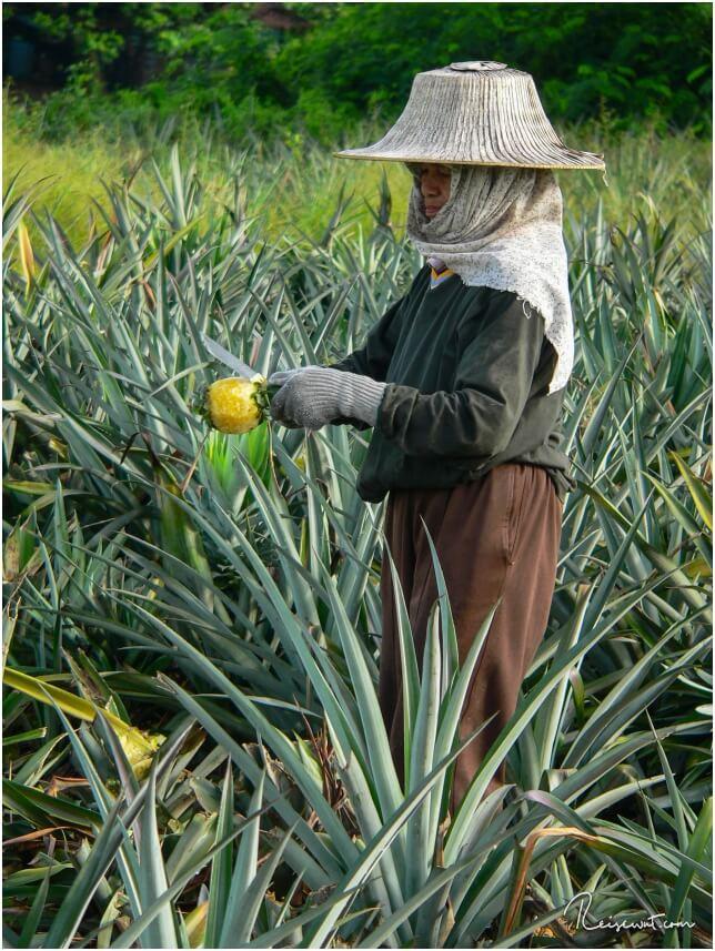 Ananasplantage am Straßenrand