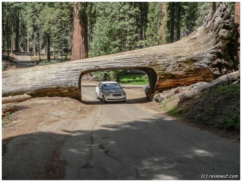 Tunnel Log ... ein Baum SO groß, dass man mit dem Auto durchfahren kann