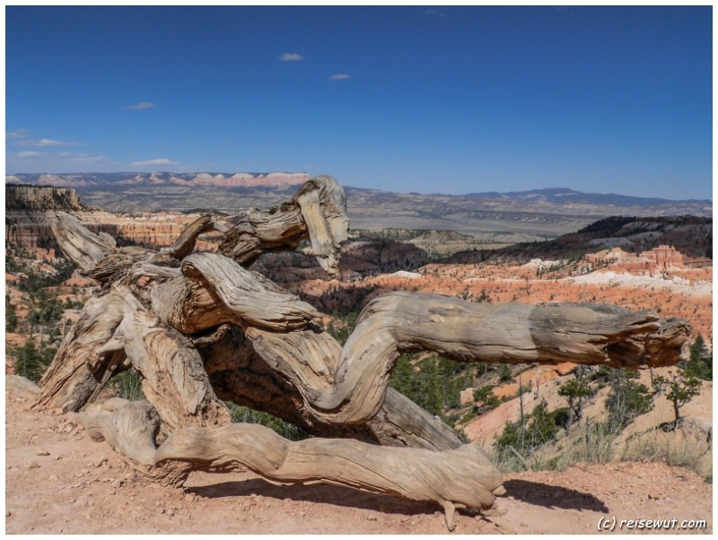 Dead Tree am Bryce Canyon