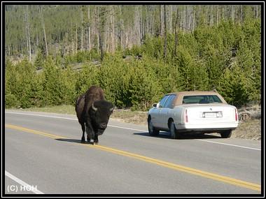 Ein Bison dreht gemütlich seine Runden