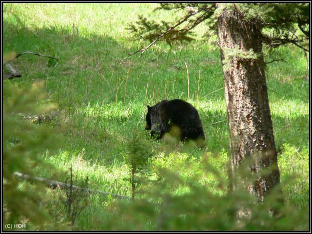 Schwarzbär im Yellowstone
