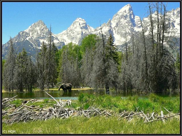 Moose is waiting im seichten Wasser bei Schwabacher Landing